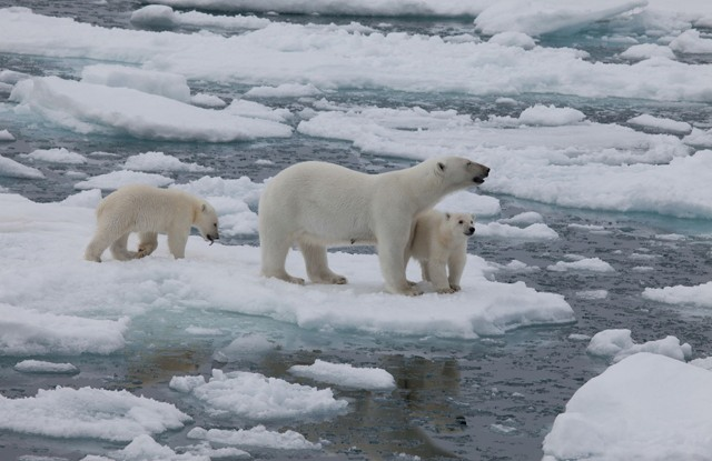 Mama Polar Bear and her Two Cubs in 'In the Arctic 3D'