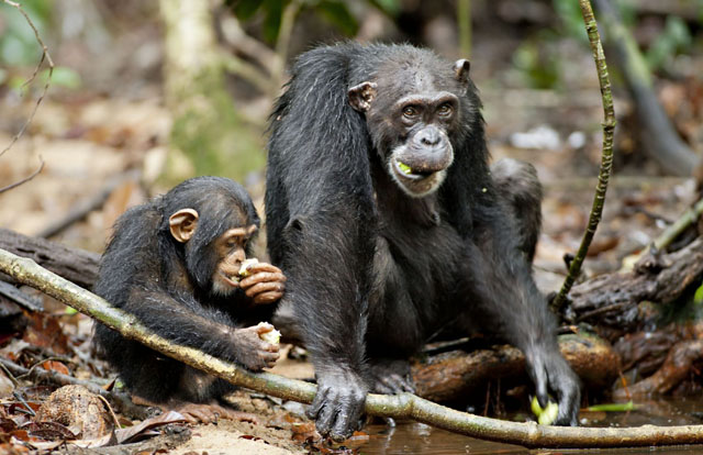 Baby Oscar and Mother Isha in 'Chimpanzee'