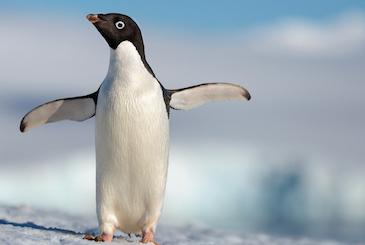 Disneynature's 'Penguins'