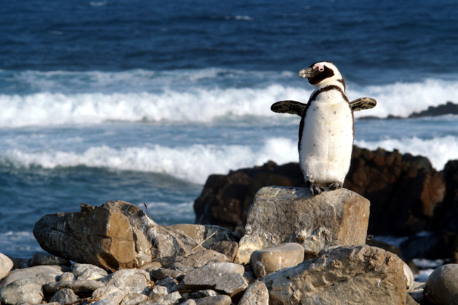 An African penguin stands tall atop a rock on Bird Island, Eastern Cape in the IMAX film Wild Ocean 3-D
