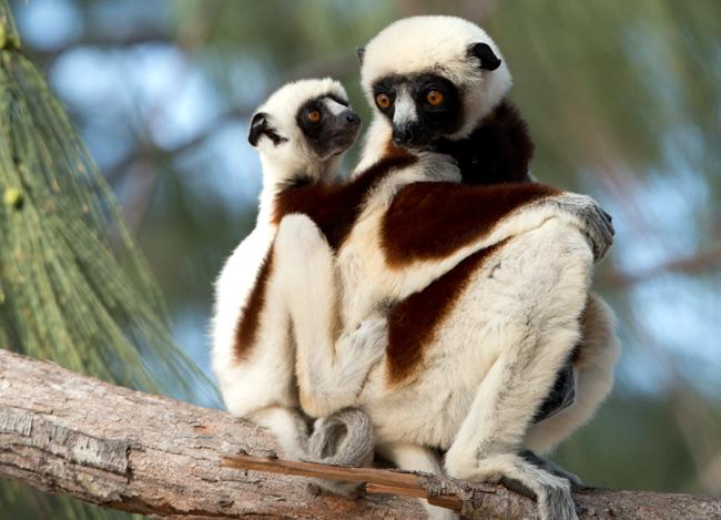 Coquerel's Sifaka lemurs